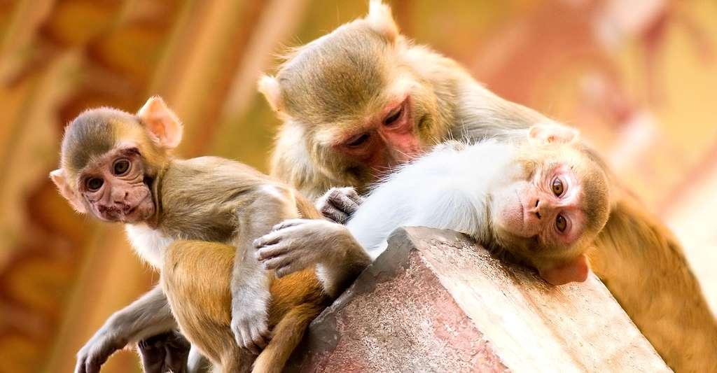 Que font les singes en cas d'agression d'un des leurs ? © Garrett Ziegler, Flickr CC by-nc 2.0