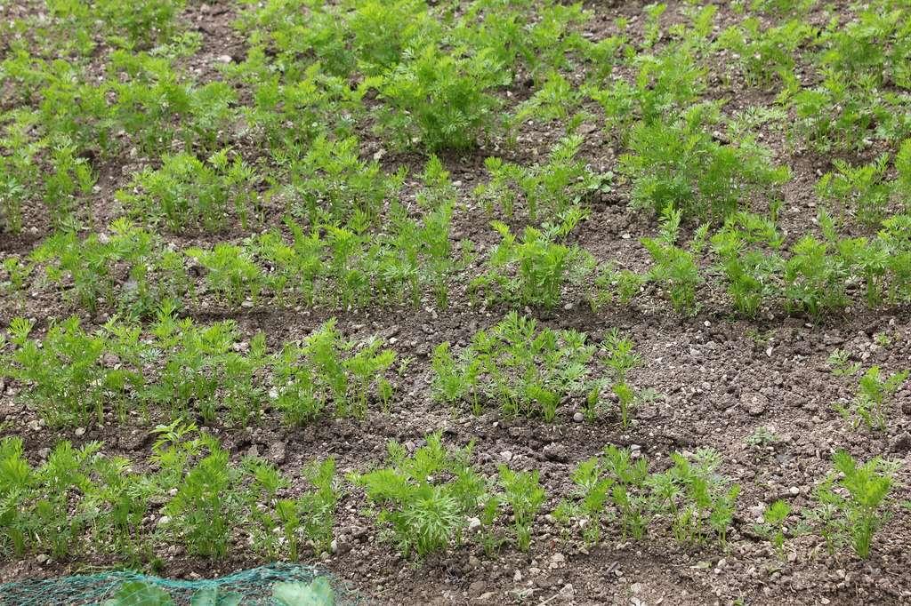 Rangs de jeunes plantules de carottes serrés avant l'éclaircissage. © S.Chaillot