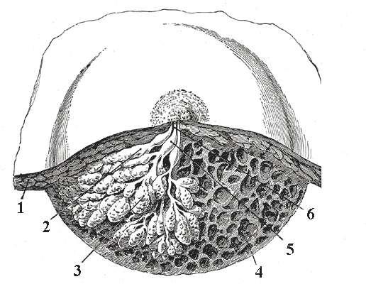 Le sein contient des glandes mammaires qui évoluent au cours de la vie de la femme. © Gray's Anatomy, Planche 1172, Wikimedia Commons, DP