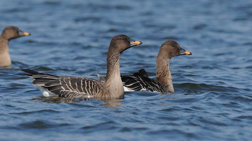 Couple d'oies des moissons à l'eau. © Jan Svetlik, Flickr, cc by nc sa 2.0