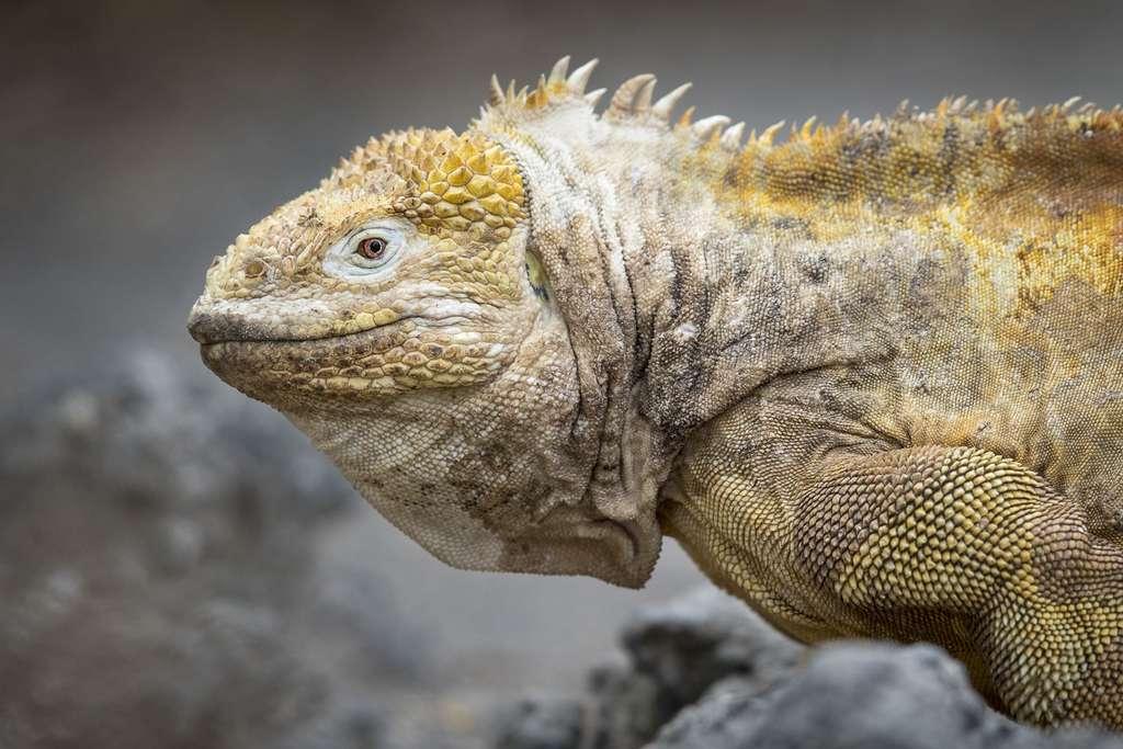 L'iguane terrestre des Galápagos (Conolophus subcristatus) est une espèce unique au monde, il est endémique de ces terres. © Maxime Aliaga, tous droits réservés