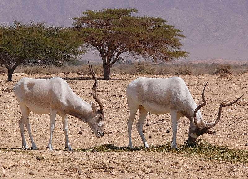 Des addax dans la réserve de Hai Bar, près d'Yotvéta, en Israël. © Zachi Evenor, Wikipedia, cc by 2.0