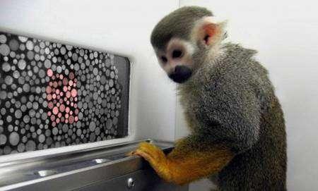 Sam et Dalton, deux saïmiris, sont devenus des champions aux tests de vision des couleurs réalisés sur ordinateur. Un jus de fruit récompense leurs victoires. © Neitz Laboratory