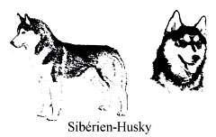 Comment reconnaître un Sibérien Husky - Copyright photo François Beiger (tous droits de reproduction interdit)