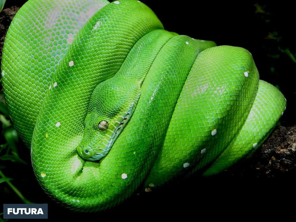 Python vert - Morelia viridis