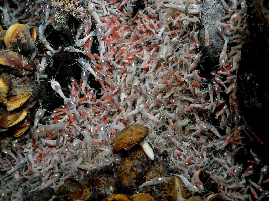 Essaim de crevettes hydrothermales Rimicaris exoculata. © Victor 6000, Ifremer, nc nd