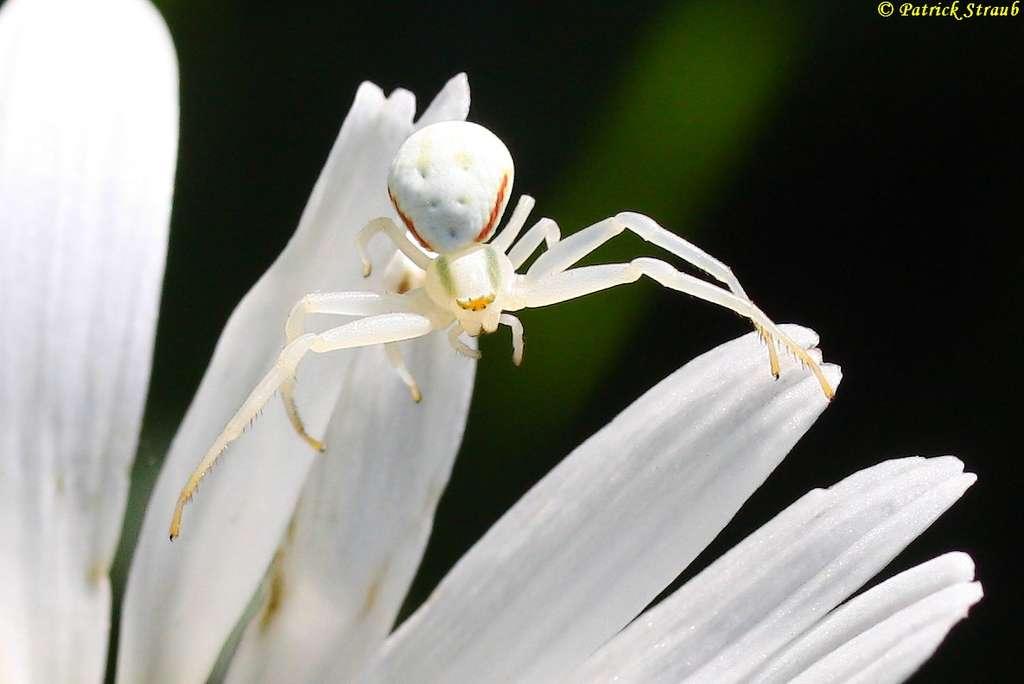 Homochomie de l'araignée-crabe, autre nom de la misumène variable. © Patrick Straub