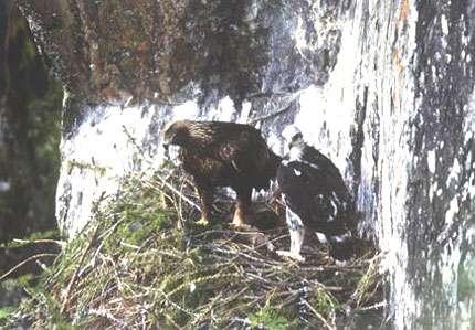 Nid d'aigle. © Reproduction et utilisation interdites