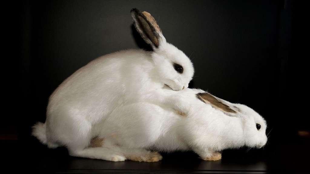 La reproduction des lapins
