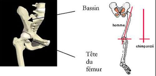 Position fémur-bassin-genou. © DR