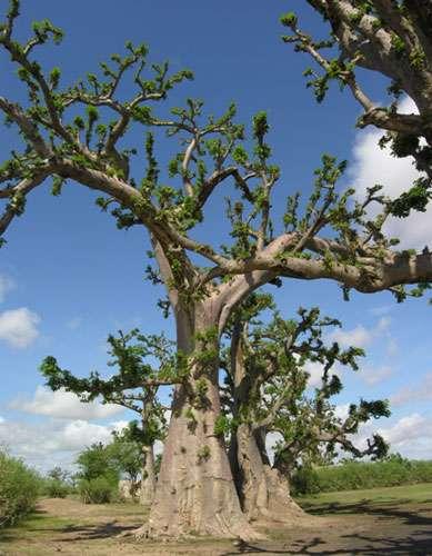Baobab dans la réserve de Bandia (Sénégal). Ces baobabs se situent à côté de la réserve de Bandia (Sénégal). Ils ont été soumis à un émondage intensif au niveau des branches et du feuillage. © S. Garnaud - Reproduction et utilisation interdites