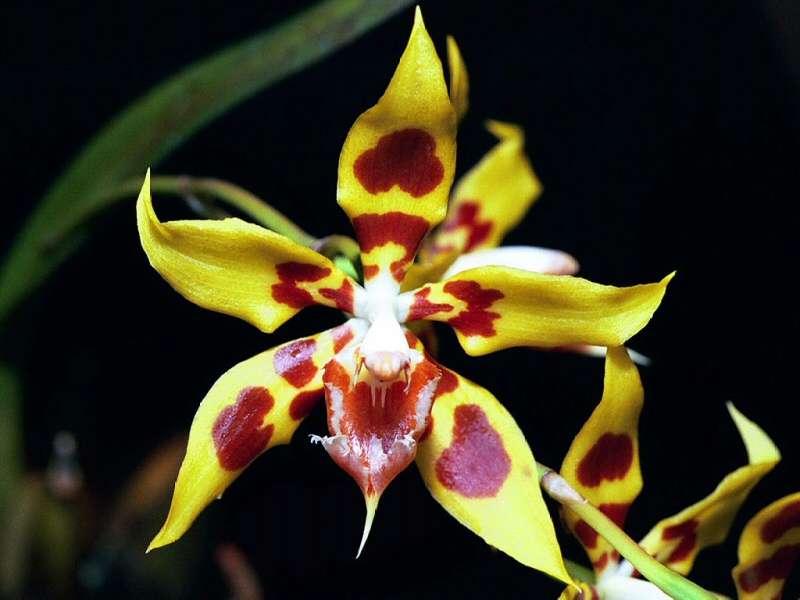 Orchidée Odontoglossum kegeliani d'Amérique du Sud