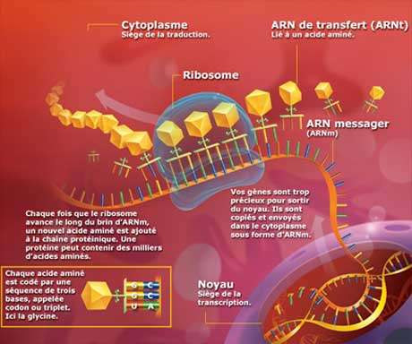 Cytoplasme