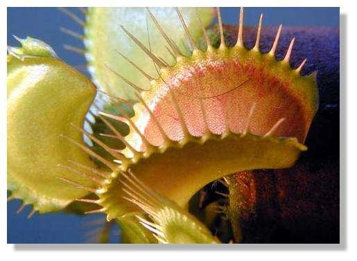Figure 15. Détail d'une feuille adulte de Dionée ouverte. © Biologie et Mulitmedia