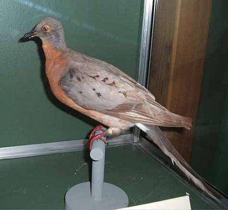 Spécimen femelle naturalisé du Musée des Sciences naturelles de Boston. Source Commons
