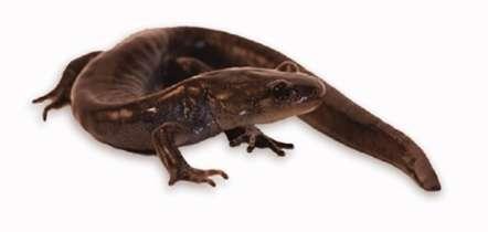 Cette lignée de salamandres Ambystoma possède des gènes issus de trois espèces différentes de salamandres. © McElroy et al., Genom Biol Evol 2017