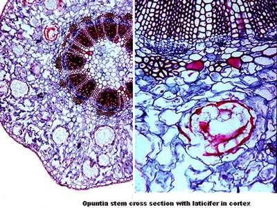 À gauche canaux laticifères et à droite gros plan sur canaux latex. © DR