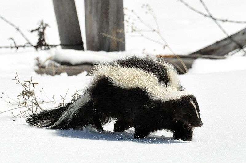 Moufette dans la neige. © Dan & Lin Dzurisin, CCA 2.0 Generic license