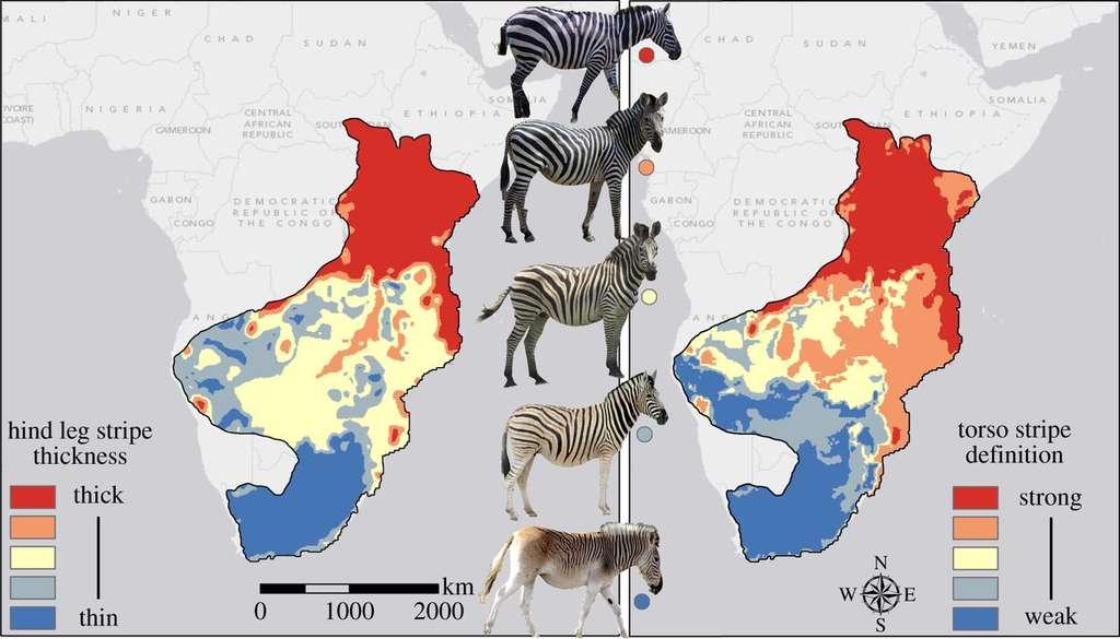 Dans cette étude, les robes des zèbres du nord et du sud diffèrent au niveau de l'épaisseur des rayures de leurs pattes arrière (à gauche) et de leur dessin sur le torse (à droite). © Brendan Larison et al., The Royal Society Publishing