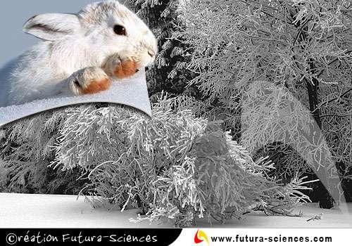 Pelage d'hiver