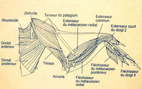 Musculature d'une aile. © Reproduction et utilisation interdites