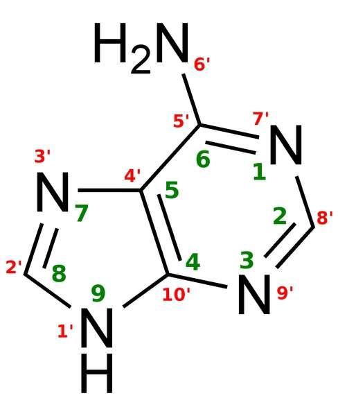 Voici la représentation simplifiée de l'adénine, constituant de l'ADN et de l'ARN. Les auteurs de cette étude ont montré que l'atome d'azote en position 6' pouvait se méthyler, c'est-à-dire qu'il était coiffé par un groupement CH3 en lieu et place d'un des deux atomes d'hydrogène (groupe H2). © Robin Leclercq, Wikipédia, DP