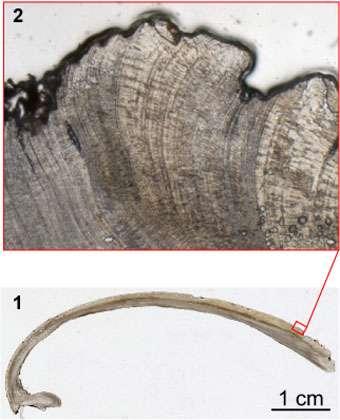 Photo 1 - Zoom sur un peels, montrant la précision que l'on peut obtenir dans la lecture des incréments de croissance journaliers. C'est à partir de cette préparation que les variations d'épaisseurs sont mesurées (largeur de la photographie 4 mm) Photo 2 : Peels complet. © G. Lasne . Reproduction et utilisation interdites