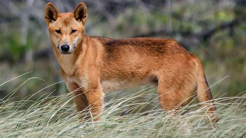 Le dingo, un superprédateur d'Australie