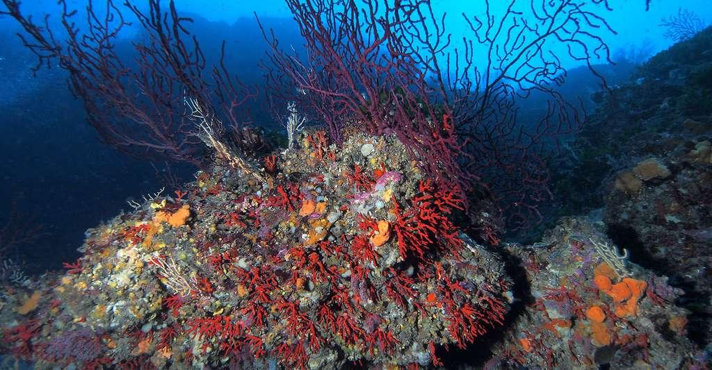 Comme la grande gorgone pourpre, le corail rouge est essentiellement méditerranéen, mais il existe aussi dans le proche Atlantique. © J.-G. Harmelin, tous droits réservés, reproduction et utilisation interdites