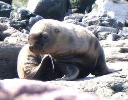 La natalité des lions de mer de Steller a fortement diminué ces dernières décennies, de même que le nombre d'individus. Les photos de bébé lion de mer, comme celle-ci, deviennent donc de plus en plus rares. Crédits DR