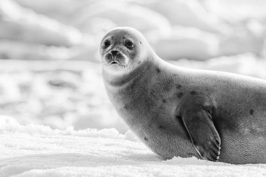 La surprise du phoque du Groenland