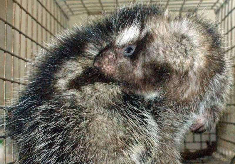 Lorsqu'il est attaqué, le rat à crête crache sur sa fourrure la salive qu'il a empoisonnée en rongeant spécialement l'écorce d'un arbrisseau. © Margaret-Kinnaird