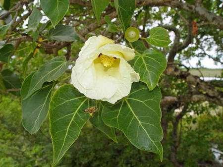Fleur de Thespesia populnea. © Photo : Bernard Suprin Tous droits réservés