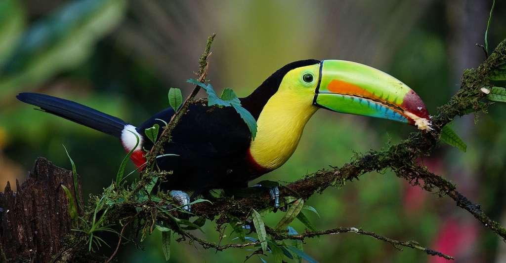 Les toucans de Guyane sont des oiseaux colorés au bec proéminent. Ici, un toucan d'Amérique tropicale. © Fintanobrien, DP