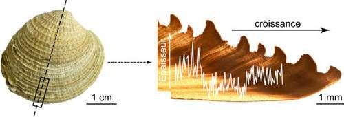 Incréments journaliers dans une coquille de Chione sp. et mesures des épaisseurs de ces incréments (courbe blanche). © C. E. Lazareth, IRD. Reproduction et utilisation interdites