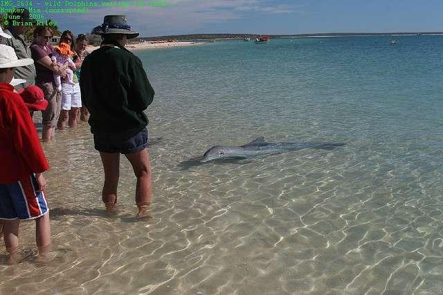 Malgré les modifications de comportement observées dans le passé, des dauphins sauvages sont encore nourris devant les touristes sur la plage de Monkey Mia. Mais l'attraction est à présent très encadrée et seuls les rangers du parc naturel sont habilités à le faire, durant un court laps de temps de la journée. © Brian Riley, Flickr, CC by-nc-nd 2.0