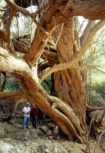 Prosopis sp., le caroubier américain, un arbre providentiel pour l'agriculture nazca mais dont les Nazcas eux-mêmes ont mal compris les effets sur l'environnement. (Cliquer sur l'image pour l'agrandir.) © David Beresford-Jones