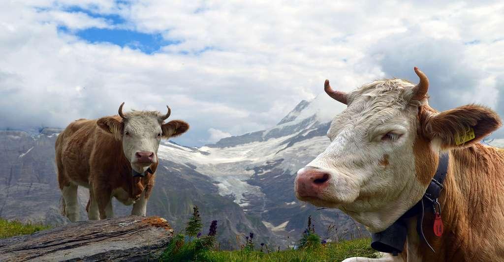 La corne broyée, fabriquée à partir de cornes de vaches, est un exemple d'engrais minéraux bio. © Lohrelei, Pixabay, DP