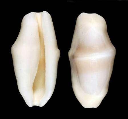 Fig. 19 : Un blanc presque pur pour la coquille de Cyphoma signatum. © Jean-Pierre Pointier - Tous droits réservés