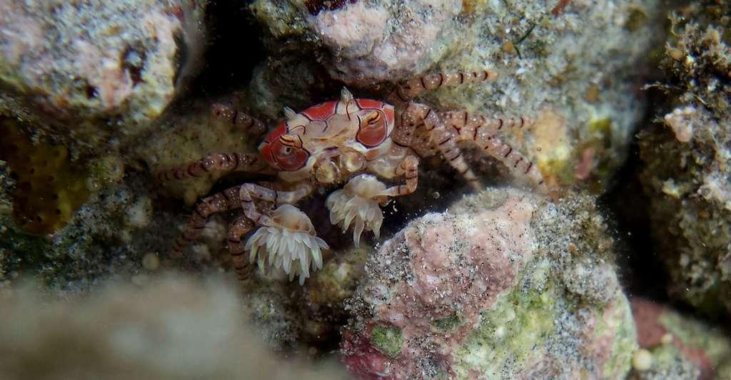 Un crabe-boxeur à mosaïque (Lybia tessellata) à la Réunion. © Elisabeth Morcel, Wikimedia commons, CC by-sa 4.0
