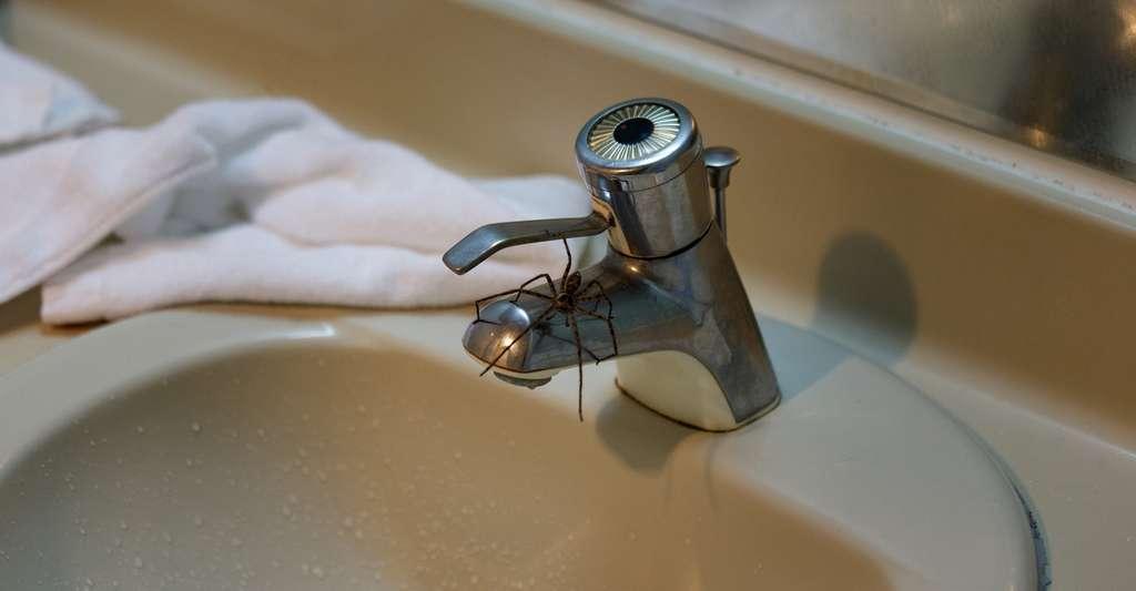 De nombreuses araignées ont aussi été observées entre 6 et 8 heures du matin, profitant de la porte d'entrée offerte par des canalisations non utilisées depuis la veille au soir au moins. © Cedar, Fotolia