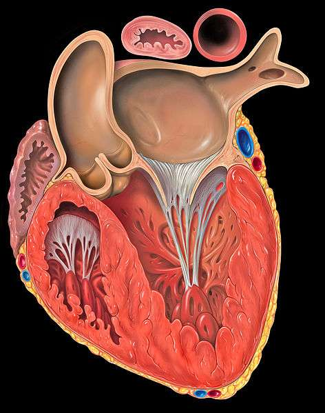 Anatomie du cœur. Ici, une coupe frontale dans le ventricule gauche du cœur humain. © Patrick J. Lynch medical illustrator, Wikipedia CC by 2.0