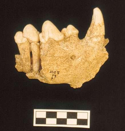 Photo 24 : Mandibule d'hyène des cavernes. © François Marchal Reproduction et utilisation interdites