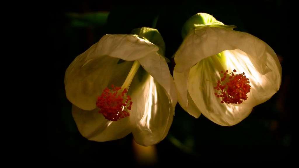 Fleurs de malvacées