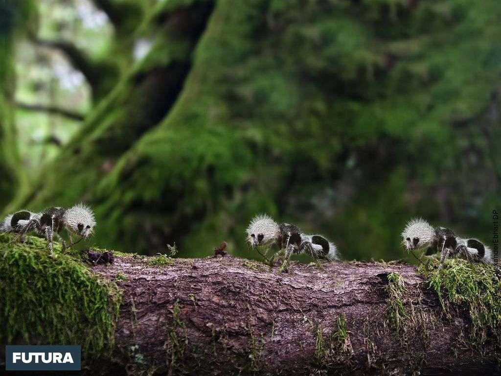 Fourmi-panda, un adorable insecte chilien à la piqûre extrêmement douloureuse