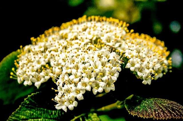 Boule de neige détails des fleurs. © BBPhotographydesign, Pixabay, DP