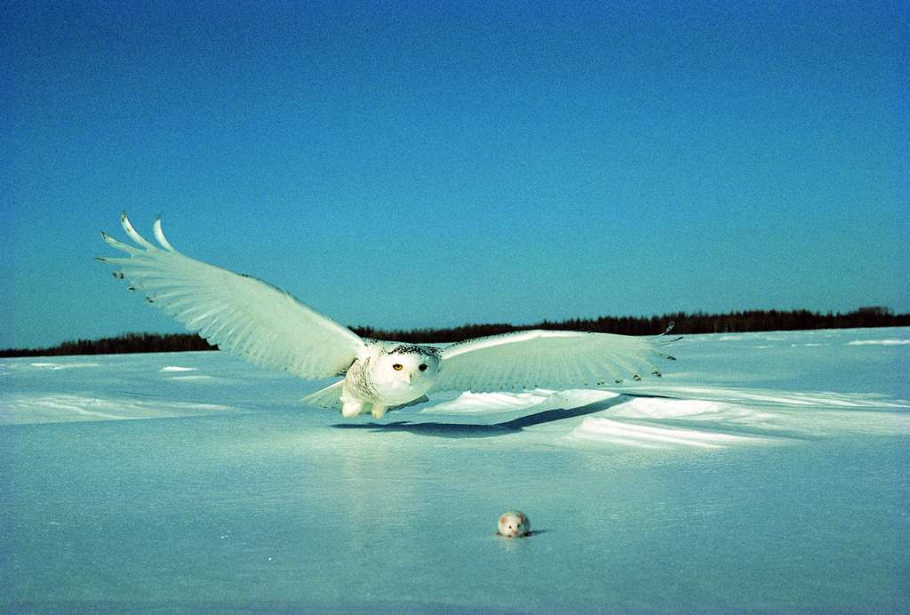 Chouette harfang en chasse. © Boréal, domaine public