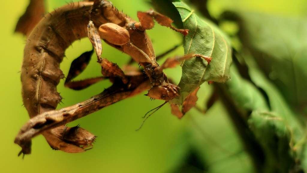 Le phasme Extatosoma tiaratum, une espèce fragile