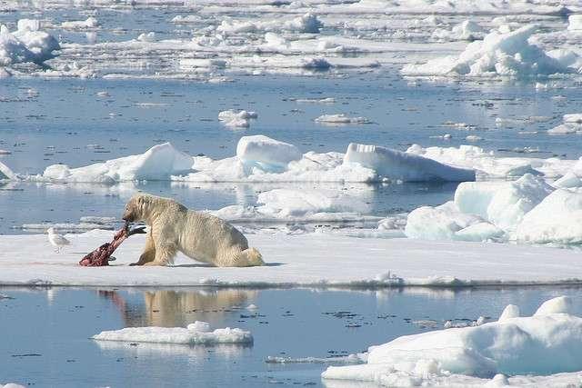 Un phoque du Groenland dévoré par un ours polaire, sur la banquise arctique. Les experts estiment qu'il subsiste entre 20.000 et 25.000 Ursus maritimus. © LindsayRs, Flickr, cc by nc nd 2.0