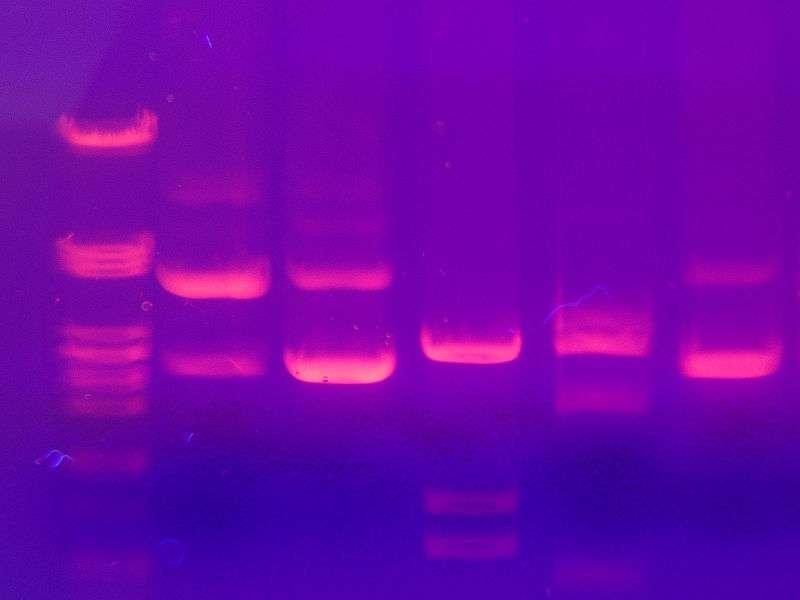L'ADN peut être analysé sur des gels après électrophorèse et coloration, donnant des bandes visibles sous lumière ultra-violette. © Mnolf, Wikimedia, CC by-sa 3.0